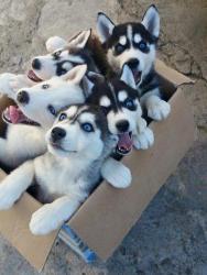 husky satilir - Azərbaycan: Привет!Я очень люблю собак)С детства мечтаю купить себе Хаски!Подарите
