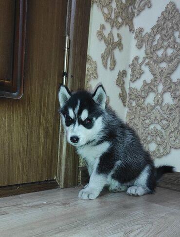 купить для собаки в Кыргызстан: Продаю щенков чистой породы Сибирской хаски, хаски сибирский ( волчий