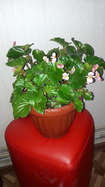 Другие комнатные растения - Кыргызстан: Продам цветок Бегонии. Красивая крона. Листья чистые, ровные. Горшок