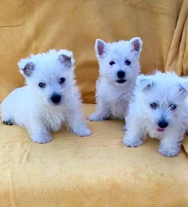 Κουτάβια West Highland White TerrierΠωλούνται δύο κουτάβια Great West