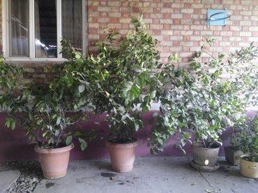 """Продаются деревья """"Лимон"""", в Кант"""