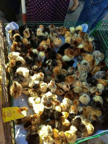 Продаю | Цыплята | Для разведения