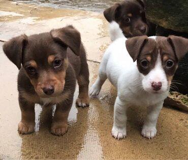 Υπέροχα κουτάβια Jack Russell Terrier whatsapp και viber . +33  Έχο