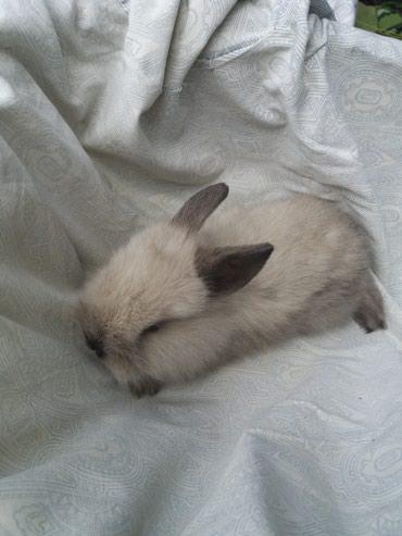 Продаю  декоративных  кроликов  1.5 мес. в Бишкек