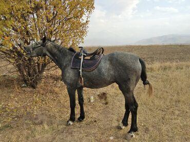 барахолка кара балта мебель in Кыргызстан | СБОРКА МЕБЕЛИ: Продаю | Конь (самец), Жеребец | Дончак | Конный спорт | Племенные