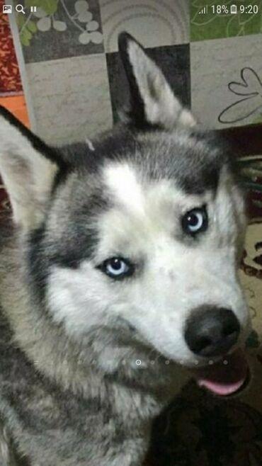 пропала собака хаски в Кыргызстан: Пропала собака порода хаски