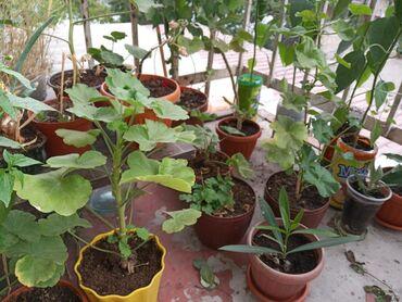 Срочно продаю комнатные растения очень дёшево от 50 до 250сомов