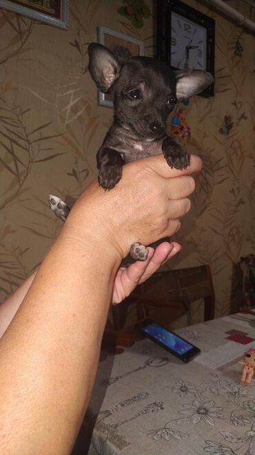 той терьер девочка в Кыргызстан: Продаю щенков Той-терьер день рождения 10 апреля девочка Ул. Больнична