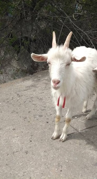 продаю козу зааненскую..молочная порода. срочно не дорого... в Кант