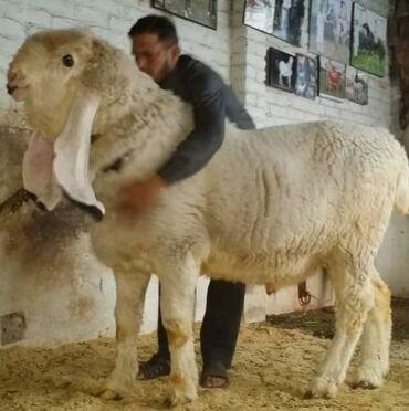 Продаю | Овца (самка) | Гиссарская | На забой, Для разведения, Для шерсти | Матка