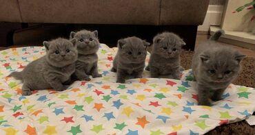 Χαριτωμένα βρετανικά γατάκια Shorthair προς πώλησηΈχουμε βρετανικά