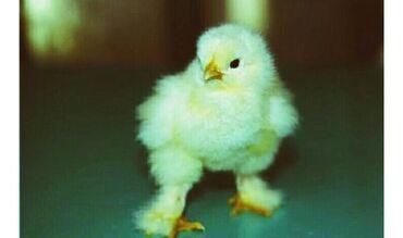 Цыплята светлой брамы суточные, на фото родительское стадо, цыплят отд