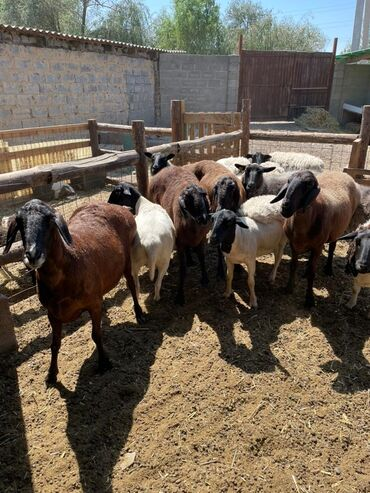 340 объявлений: Продаю   Овца (самка)   Гиссарская   Для разведения   Племенные, Матка, Ярка