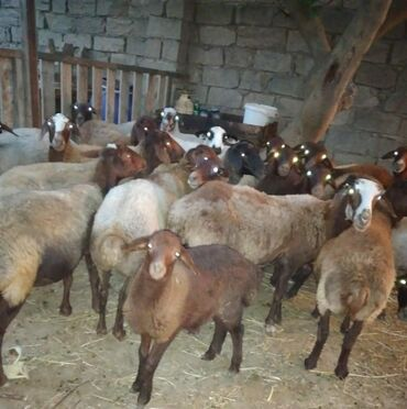 qoyunlar - Azərbaycan: Qoyunlar