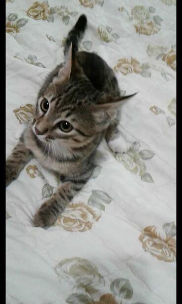 Кошечка 3 месяца. Очень игривая, нежная, чистоплотная, ходит в лоток.О