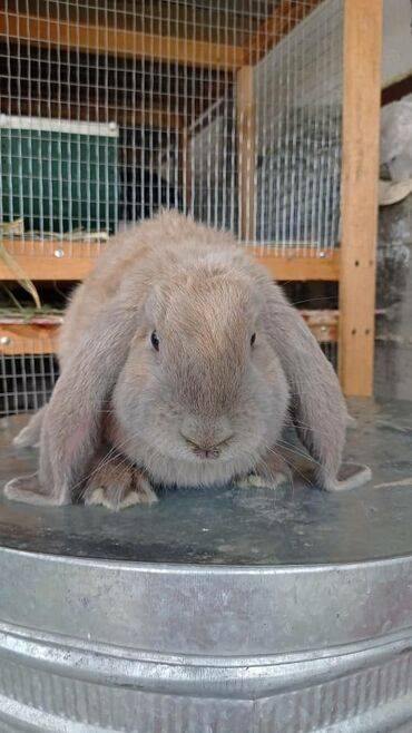 С/х животные - Кара-Суу: Продается кролики порода нзб, ф-баран, великан, евро калиф, фландер