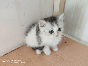 Коты - Кыргызстан: До 9 мая реальным покупателям предоставляются скидки!!!.Мальчики и