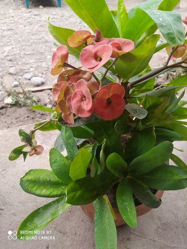 713 объявлений: Цветы мало чай