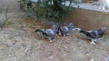 Bakı şəhərində Turk Taklasi Qiymet cutune aiddir