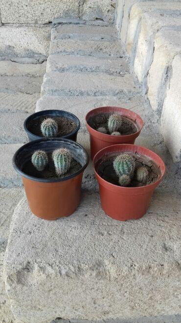 Kaktus - Azərbaycan: GENCEDE SATILIR BAKI DEYIL GENCE ERAZISIDI KAKTUSLAR SATILIR HAZIR