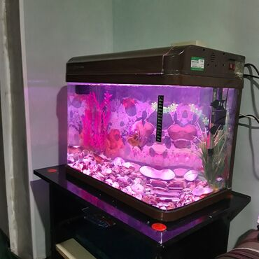 Gəncə traktor zavodu - Azərbaycan: Oskar balığı akvariumla birlikdə satılır, içində hər bir şeyi var 155