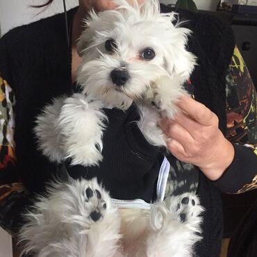 Mantil zimski - Srbija: Duksici za male pse - VELIKI IZBOR DEZENA -NOVO-SADA I SA