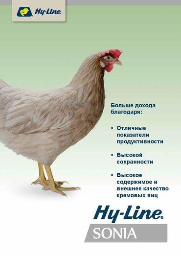 Продаю | Цыплята | Несушки