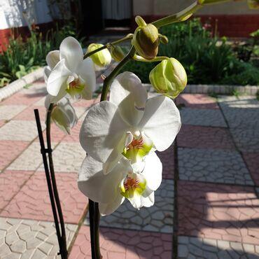 гул букет в Кыргызстан: Невеста 👰 Орхидея! Орхидеи! Орхидея фаленопсис, от 70см, высокая, пышн