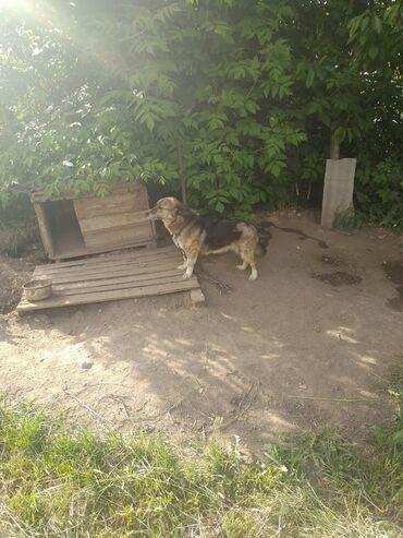 Находки, отдам даром - Каракол: Отдам собаку в добрые руки хорошо охраняет, почему отдаем!!!у нас две