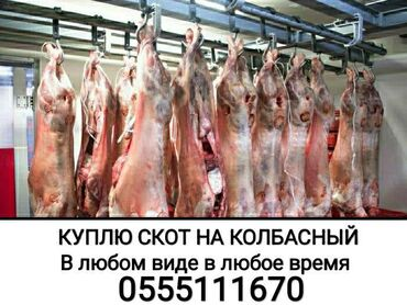 Животные - Сокулук: Скупаем скот в колбасный цех любой упитанности