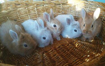 кролики бишкек in Кыргызстан   ДЕКОРАТИВНЫЕ КРОЛИКИ: Декоративные кролики,до 1 кг. Легко приучаются к горшку. Нежных