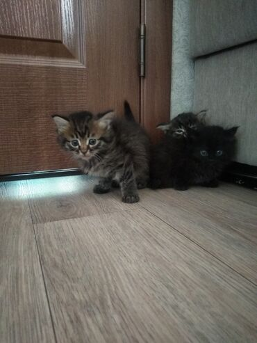 botilony na kabluke в Кыргызстан: Отдаю бесплатно 3 котят. Котяткам 2 месяца. 3 мальчика отлично
