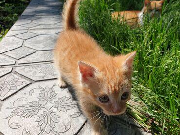 Коты - Кыргызстан: Отдам котёнка, девочку