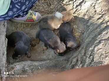 Животные - Каирма: 1 щенок породистые