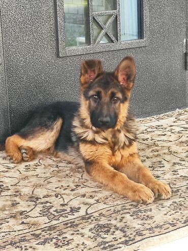 Находки, отдам даром - Мыкан: Сегодня 15 мая утром пропала собака в ж/м Арча-Бешик . Отзывается на