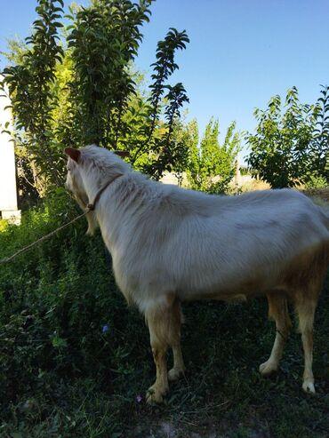 Животные - Джал мкр (в т.ч. Верхний, Нижний, Средний): Продается козел чистый зааненской породы.Рост 90см в