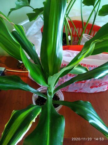 Комнатные растения - Сокулук: Пальмы