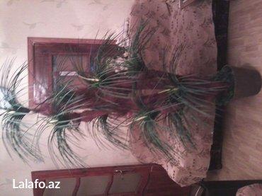 Bakı şəhərində Dekarativ palma ağacı. Hündürlüyü 1. 90sm. 7 budaqlı.