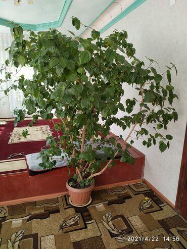 Китайская роза высота 2.20м