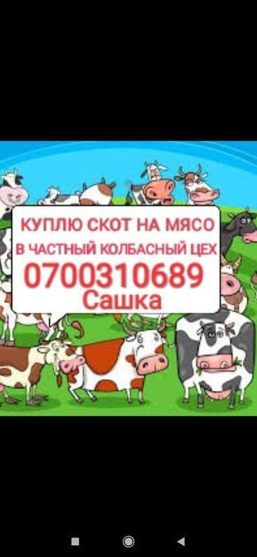 еней плюс постельное белье в Кыргызстан: Куплю в частный колбасный цех скот любой упитанностиприезжаю сам. Без