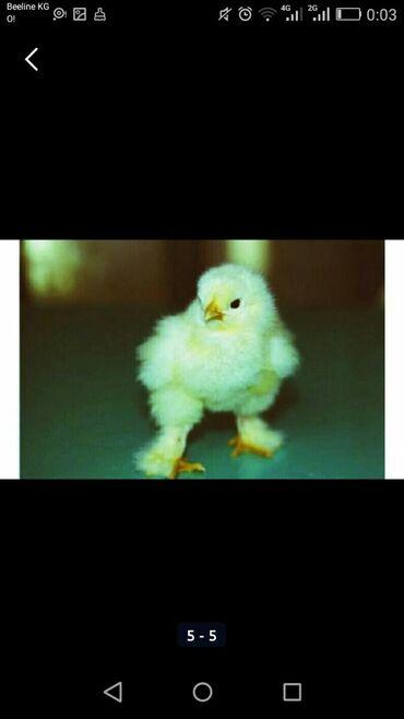 Суточные,недельные, двухмесячные, цыплята брамы