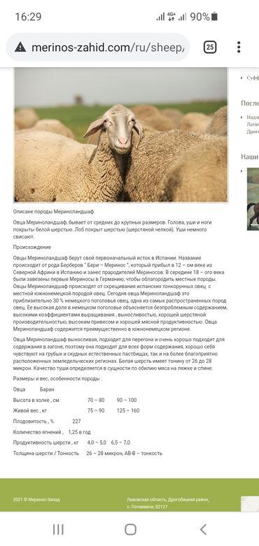 немецкие наушники в Кыргызстан: Продаем немецкую породу овец Мериноланд и французскую породу овец Иль