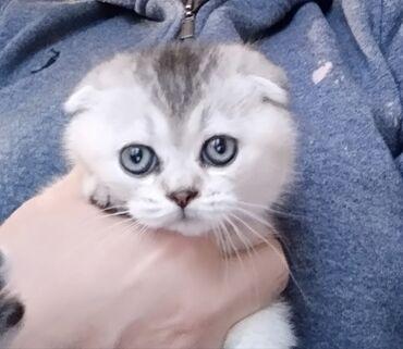 Шотландская кошечка Скотиш Фолд. Возраст 2 месяца. По всем вопросам