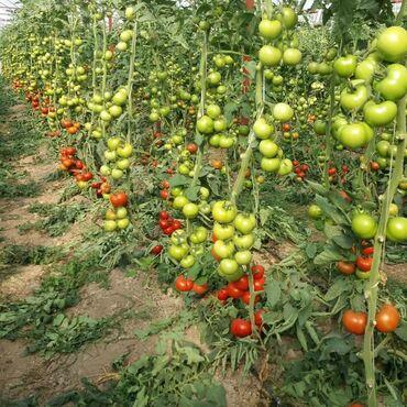 тур в алматы бишкек в Кыргызстан: Продаю семена помидоров, огурцов для теплиц. Производство Турция. Цена