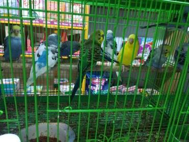 Красивые, яркие волнистые попугаи, цена договорная в Сокулук