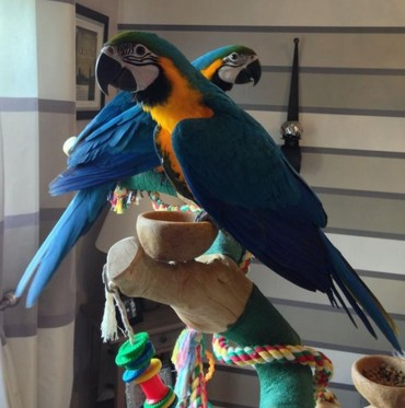 Blue And Gold Macaw Parrots For Sale σε Artemi