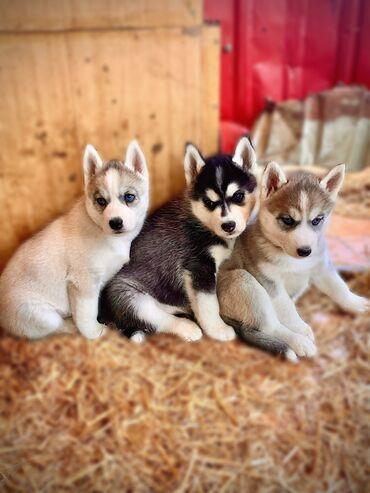 Питомник king for dogs. предлагает к продаже элитных щенков сибирской