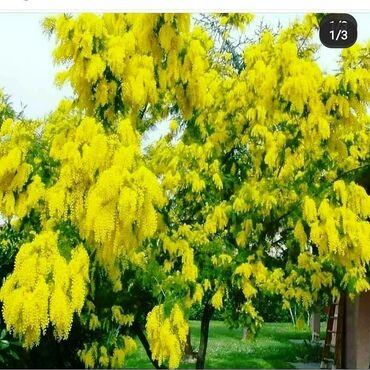 Otaq bitkiləri Xırdalanda: Mimoza ağacı satılır