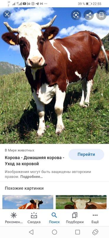 Продаю | Корова (самка), Тёлка | На забой, Для разведения