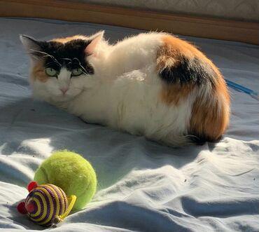 стерилизовать кошку в Кыргызстан: Кошечка девочка возраст год зовут Матильда привита, стерилизована